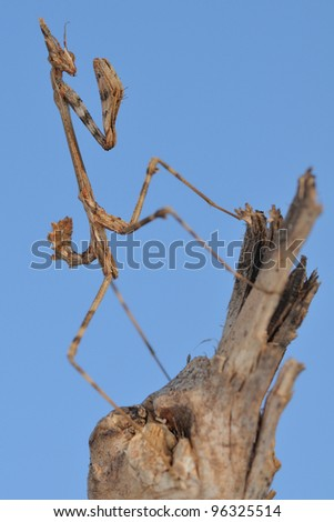 Conehead mantis (Empusa pennata) and blue sky. Immature female.