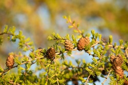 Cones and fresh needles on branches of  Siberian larch (Larix sibirica) in golden evening sunset light