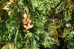 Cones in the leafage of Thuja occidentalis in September