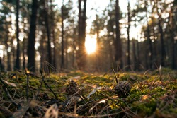 cones lie at sunset in a coniferous pine forest surrounded by forest floor in the form of bark, needles, moss, lichens background of tall pines and the sun peeking out from behind the trees in a blur