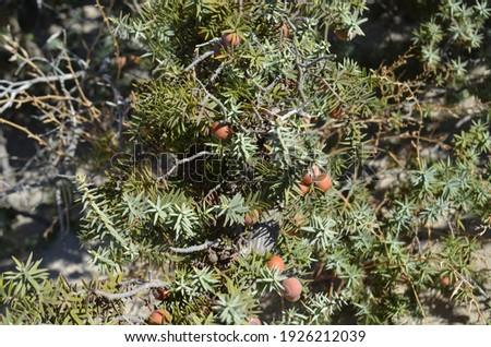 Cones of juniper (Juniperus macrocarpa or large-fruited juniper) is a species of juniper, native across the northern Mediterranean. Chrissi island, Greece.