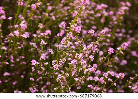 Confetti bush little pink flowers coleonema pulchellum outdoors ez confetti bush little pink flowers coleonema pulchellum outdoors ez canvas mightylinksfo