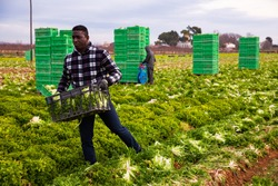 Confident african-american farmer carrying plastic box full of lettuce on field