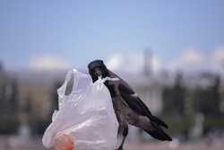 Confused crow with a garbage bag