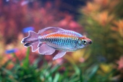 Congo tetra fish (Phenacogrammus interruptus) is a species of fish in the African tetra family, found in the central Congo River Basin in Africa. Famous aquarium ornamental fish. Soft focus
