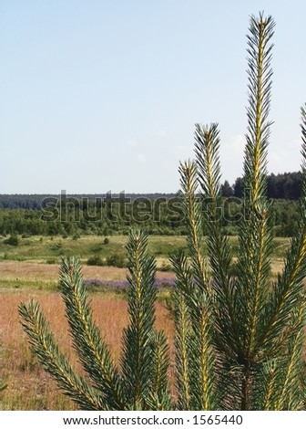 conifer #1565440