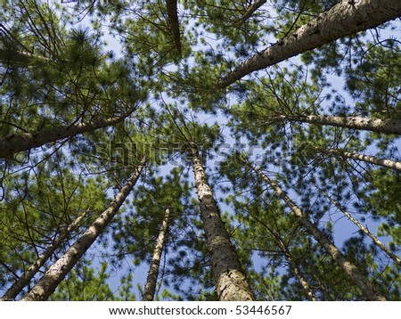 Conifer Canopy, Indiana