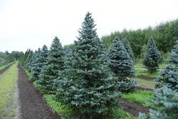 Conifer plants nursery. Topiary bonsai and niwaki garden trees