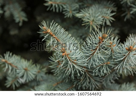 Coniferous branches. Pine branches close-up.