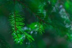coniferous evergreen  spruce trees wallpaper. green evergreen background. shallow depth of field