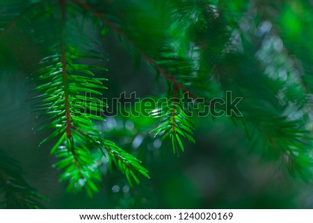 coniferous evergreen  spruce trees wallpaper. green evergreen background. shallow depth of field #1240020169