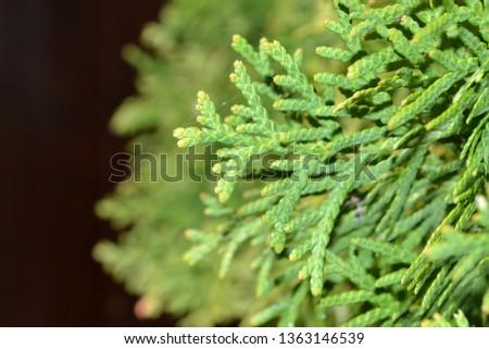 Coniferous evergreen tree thuja #1363146539