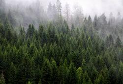 Coniferous forest and fog, National park Tara