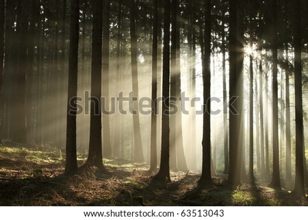 Coniferous forest backlit by the rising sun on a foggy autumn day.