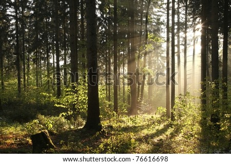 Coniferous forest backlit by the rising sun on a foggy spring day.