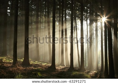 Coniferous forest backlit by the rising sun on a misty October's day.
