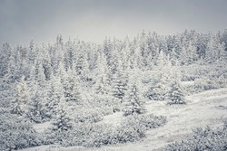 Coniferous forest closeup, Tatra Mountains, Poland. White winter view on a cold morning. Wintry landscape in Zakopane. Selective focus on the trees, blurred background.