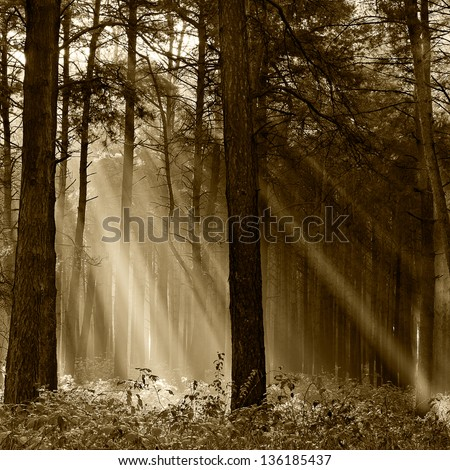 Coniferous forest illuminated by the morning sun on a foggy autumn day. Vintage