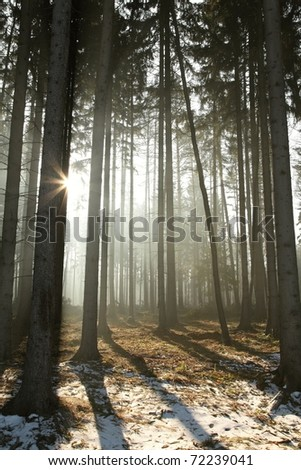Coniferous forest illuminated by the morning sun on a foggy early spring day.