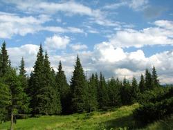 coniferous forest in Carpathian mountains