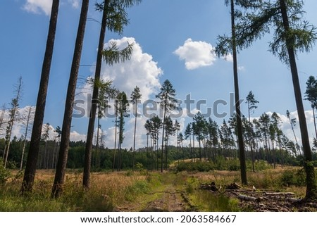 Coniferous forest in which dry trees are infested with bark beetles. The sky is blue. Foto stock ©