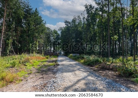 Coniferous forest in which dry trees are infested with bark beetles. The sky is blue. The road is muddy Foto stock ©