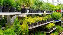 Coniferous plant nursery. Racks with pots of thujas, junipers, cypresses in the garden center. Sale of a variety of conifers at a discount.