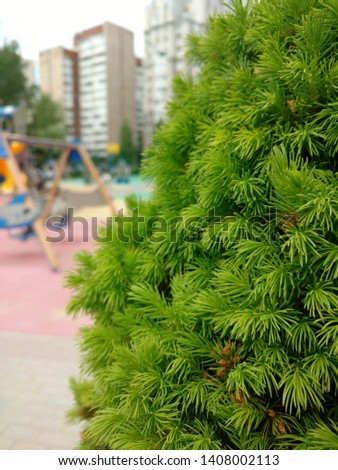 Coniferous plant on the playground