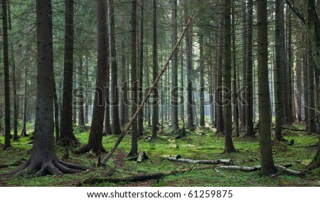 Coniferous stand of Bialowieza Forest in morning with pine and spruce