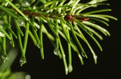 Coniferous tree branch with drops of ross - close-up
