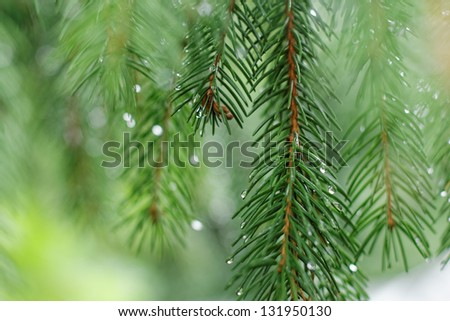 Coniferous tree branch with water drops. Macro shot