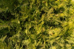 Coniferous tree branches. Thuja in late autumn. Spruce green branches. Close-up. Coniferous wood texture. Ever green tree. Christmas coniferous background. Blank for New Year's design