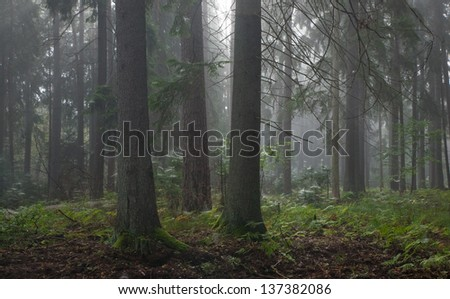 Coniferous trees against light of misty sunrise morning