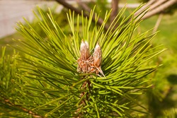 Coniferous trees in the spring. Young green bumps. Small details close-up. Ultra macro photo. Cobweb on the cones. Always green coniferous leaves and seeds in the spring.