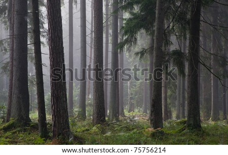 Coniferous trees silhouette against light of misty sunrise morning with spiders net on spruce trees