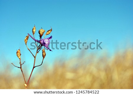 Consolida regalis (forking larkspur, rocket-larkspur, field larkspur) blooming flower and ripe seed pods on stem, autumn glade with yellow weathered grass and bright blue sky on background #1245784522