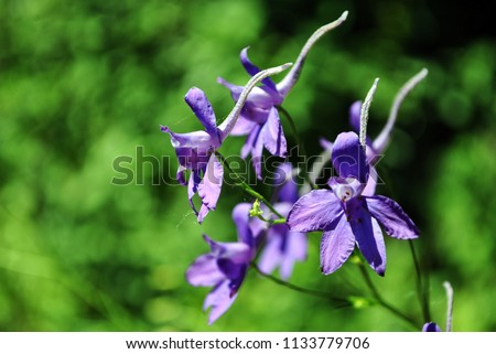 Consolida regalis (Forking Larkspur, Rocket-larkspur, Field larkspur) blue flowers, close up detail, soft green blurry bokeh background #1133779706