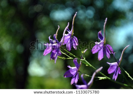 Consolida regalis (Forking Larkspur, Rocket-larkspur, Field larkspur) blue flowers, soft bokeh background #1133075780