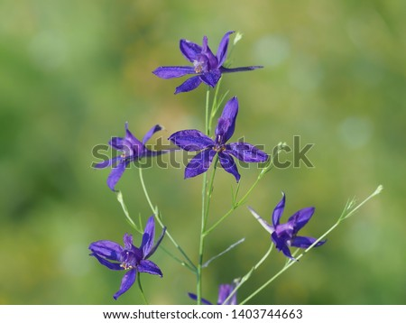 Consolida regalis known as forking larkspur, rocket-larkspur and field larkspur #1403744663