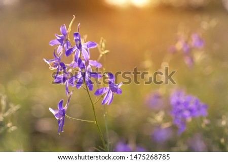Consolida regalis known as forking larkspur, rocket-larkspur and field larkspur. Purple small flowers  in the field. It is used in herbal medicine, good honey plant. Place for text. #1475268785