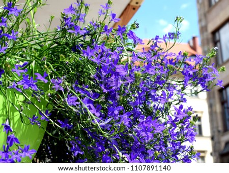 Consolida regalis, with the common names forking larkspur, rocket-larkspur, and field larkspur, is an annual herbaceous plant belonging to the genus Consolida of the buttercup family. #1107891140