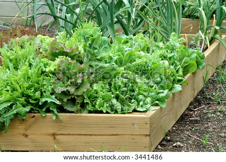 Container Garden - A beautiful lettuce and onion garden growing in a wooden container.