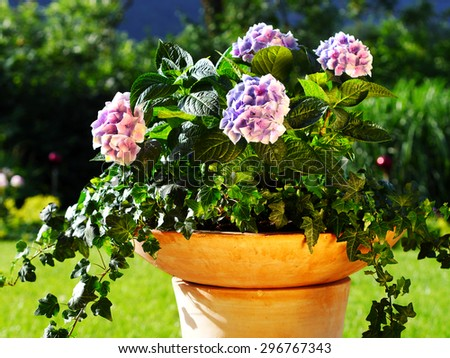 container gardening ideas with ivy and hydrangea in terracotta pot