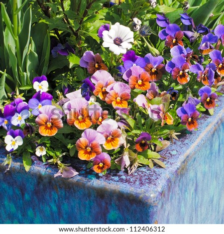 Container gardening. Purple, pink and white spring flowers in blue ceramic planter.