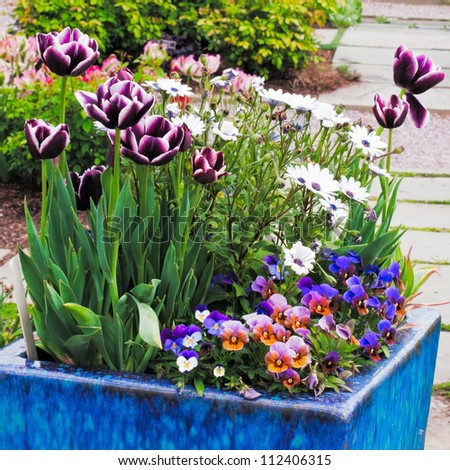 Container gardening. Purple, pink and white spring flowers in blue pottery planter.