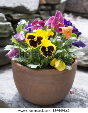 Container of pansy flowers