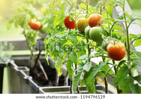 Container vegetables gardening. Vegetable garden on a terrace. Herbs, tomatoes growing in container ストックフォト ©