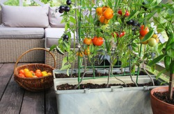 Container vegetables gardening. Vegetable garden on a terrace. Red, orange, yellow, black tomatoes growing in container .