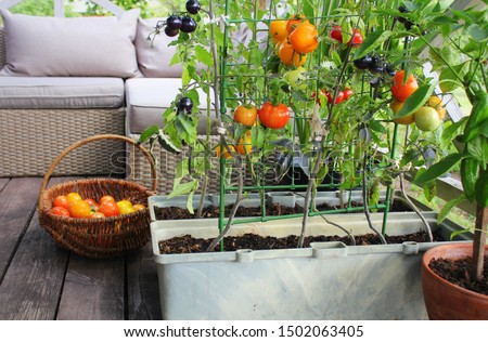 Container vegetables gardening. Vegetable garden on a terrace. Red, orange, yellow, black tomatoes growing in container . Foto stock ©