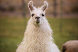 Content Grinning Llama